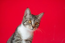 Portrait of a cute brown tabby striped cat on red background
