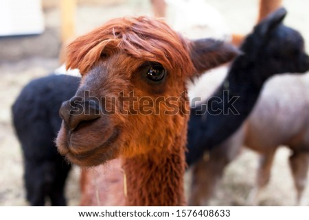 Portrait of a cute brown young alpaca. Very kind and beautiful eyes. The head is photographed closely. The background is blurred. Contact Zoo.
