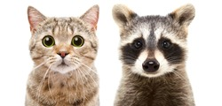 Portrait of a cute cat Scottish Straight and raccoon, closeup, isolated on white background
