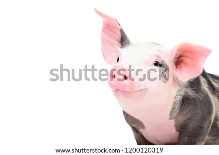 Portrait of a cute cheerful pig, isolated on white background