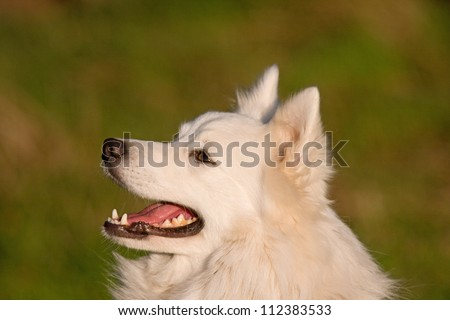 Portrait of a cute cheerful white Japanese Spitz dog.