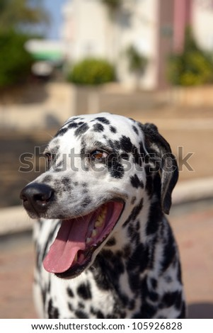 Portrait of a cute dalmatian outdoor