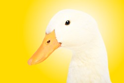 Portrait of a cute duck, closeup, side view, on yellow background