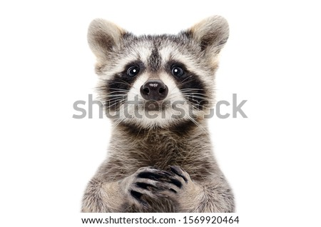 Portrait of a cute funny raccoon, closeup, isolated on a white background