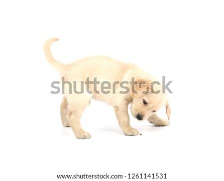 Portrait of a cute golden retriever puppy dog against a white background #1261141531
