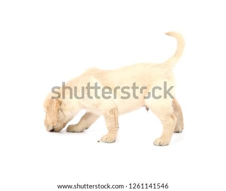 Portrait of a cute golden retriever puppy dog against a white background #1261141546