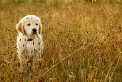 Portrait of a cute Golden Retriever puppy in a field.  Dog outdoors.