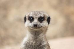 Portrait of a cute meerkat or suricate (Suricata suricatta)