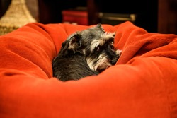 Portrait of a cute miniature schnauzer dog looking towards the camera with adorable guilt in her eyes while hiding in a huge red velvet bean bag.  Dog love.