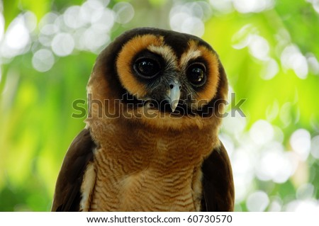 Portrait of a cute owl in tropical forest