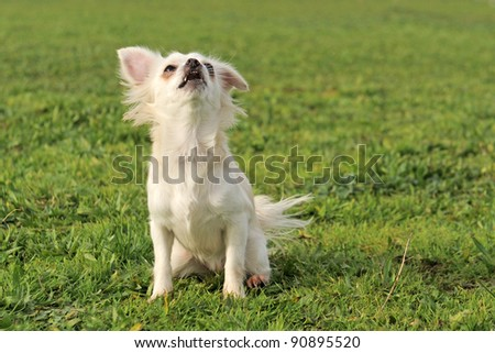 portrait of a cute purebred  barking chihuahua