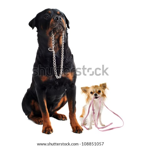 portrait of a cute purebred  chihuahua and rottweiler who holding a leash and a collar in front of white background