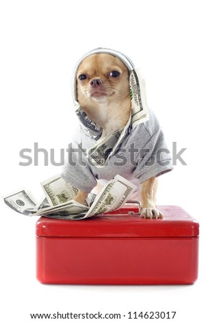 portrait of a cute purebred  chihuahua dressed with dollars in front of white background