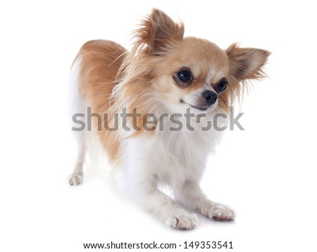 portrait of a cute purebred  chihuahua in front of white background #149353541