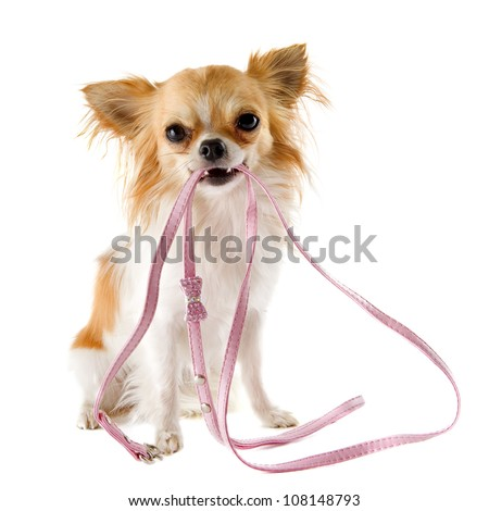 portrait of a cute purebred  chihuahua who holding a leash in front of white background
