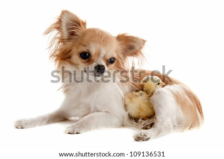 portrait of a cute purebred chihuahua with a chick in front of white background