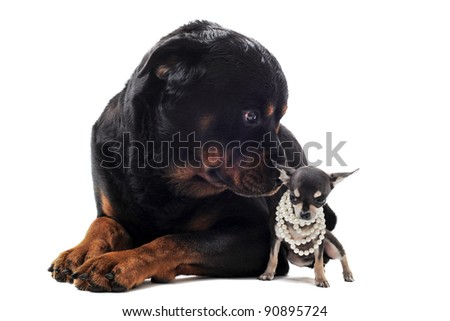portrait of a cute purebred chihuahua with pearl collar and rottweiler in front of white background