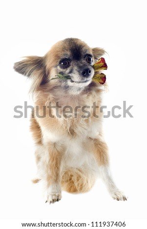 portrait of a cute purebred  chihuahua with rose in front of white background