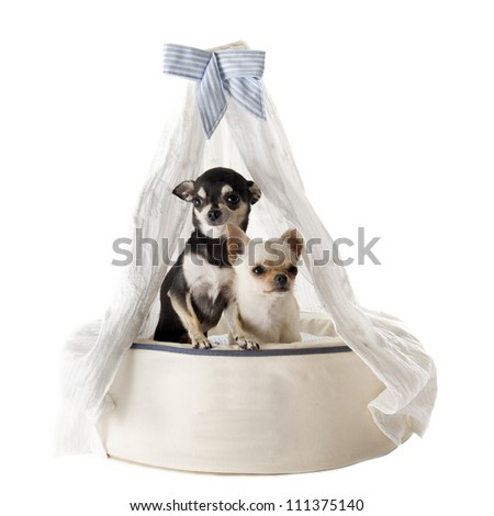 portrait of a cute purebred  chihuahuas in a luxury dog bed - stock photo
