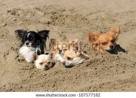 portrait of a cute purebred  chihuahuas in the sand