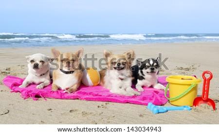 portrait of a cute purebred  chihuahuas on the beach #143034943