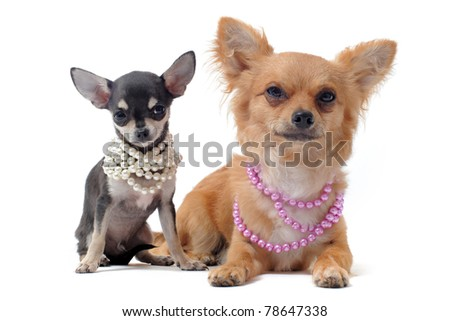 portrait of a cute purebred chihuahuas with pearl collar in front of white background