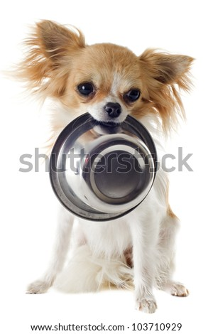 portrait of a cute purebred  puppy chihuahua and his food bowl