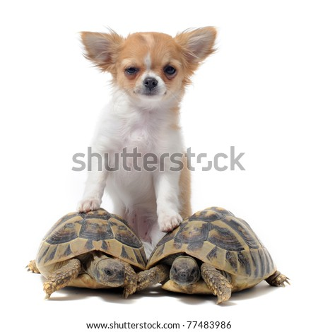 portrait of a cute purebred  puppy chihuahua and turtles in front of white background