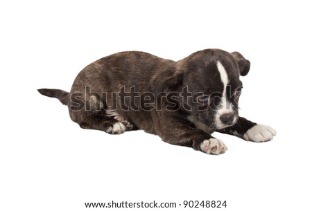 portrait of a cute purebred puppy chihuahua in front of white background