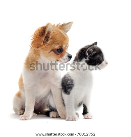 portrait of a cute purebred  puppy chihuahua with black and white kitten in front of white background