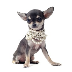 portrait of a cute purebred puppy chihuahua with pearl collar in front of white background