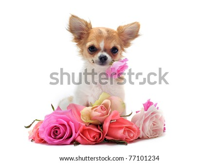 portrait of a cute purebred  puppy chihuahua withe roses in front of white background