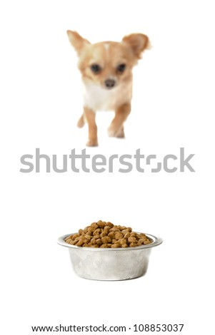 portrait of a cute purebred  walking chihuahua and his food bowl, focus on the food