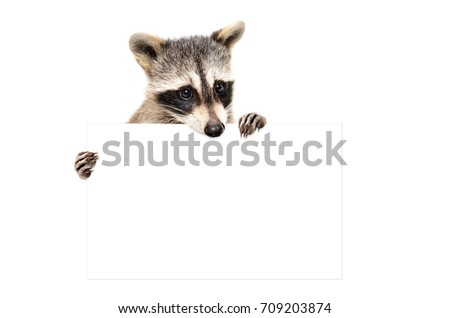 Portrait of a  cute raccoon with banner, isolated on white background