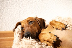 Portrait of a cute red dachshund. Place for text. Side view.