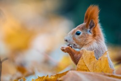 Portrait of a cute red squirrel (Sciurus vulgaris) in the autumn forest. Warm autumn colors.
