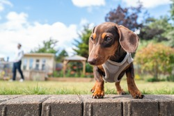 Portrait of a cute short haired  dachshund puppy wearing a harness. She is in a garden and is seen at eye level. An unrecognisable person is in soft focus in the background.