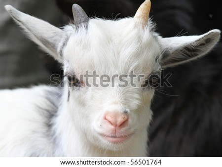 Portrait of a cute white baby goat with a pink nose