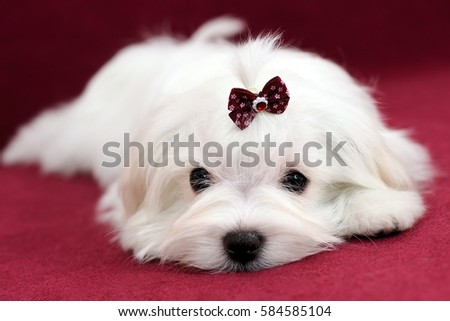 Portrait of a cute white long-haired Maltese girl on a red background. The puppy is 4 months old on the picture.
