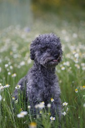 Portrait of a cute 1 year old grey colored silver poodle dog with teddy cut in a wild meadow  with white chamomile flowers.