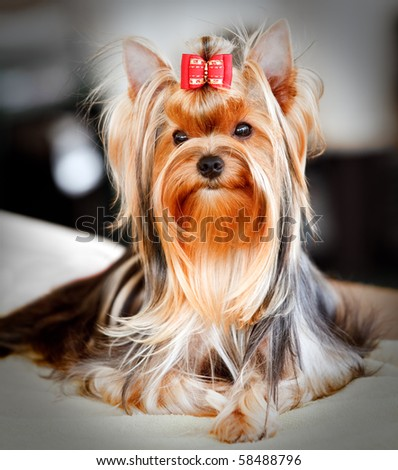 Portrait of a cute Yorkshire Terrier at a dog show