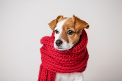 portrait of a cute young small dog looking at the camera with a red scarf covering him. White background