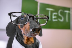 portrait of a dachshund dog, black and tan, a teacher in glasses takes an exam, on the background of the blackboard with the inscription test