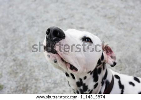 Portrait of a Dalmatian dog. Focus on nose tip.