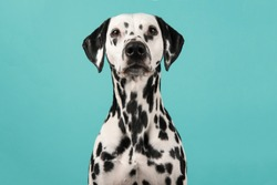 Portrait of a dalmatian dog looking at the camera on a blue background
