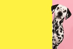 Portrait of a dalmatian dog on a pink background looking around the corner of an yellow empty board with space for copy