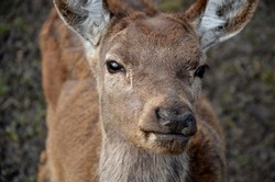 portrait of a deer or roe deer. A deer looks over a fence. he is trapped in a fence. breeding animals for meat, skins and antlers. The reservation for injured animals is a shelter paid for by donation