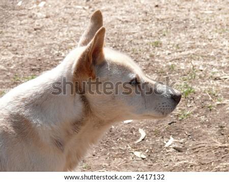 portrait of a dingo