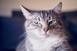 Portrait of a disgruntled cat with an unhappy expression on its face. Serious cat is watching in disbelief, grumpy portrait
