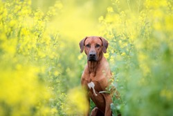 Portrait of a dog among yellow flowers. Rhodesian ridgeback